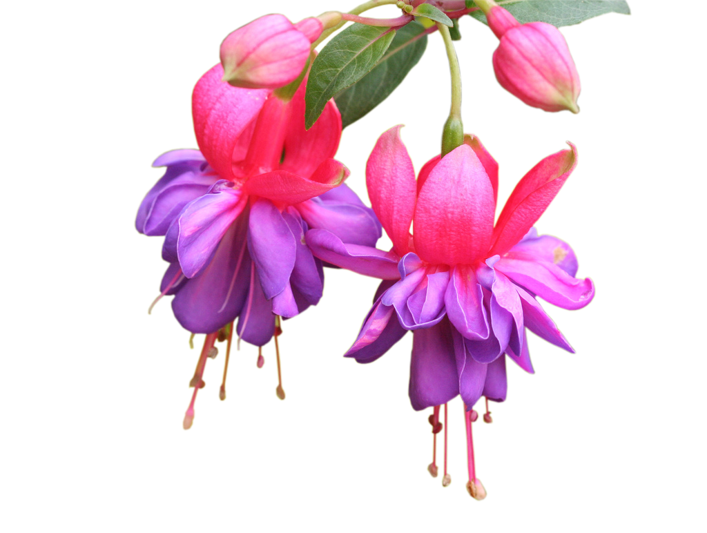 photoshop.png frames wallpapers designs: Fuchsia-Magellanica--flowers - Fuschia Flowers PNG