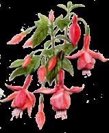 Taking Cuttings - Fuschia Flowers PNG