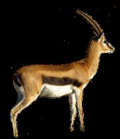 Gazelle PNG - 27754