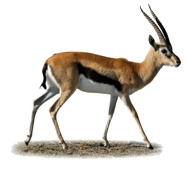 Gazelle PNG - 27751