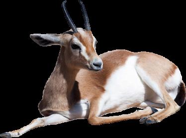 Gazelle PNG - 27758