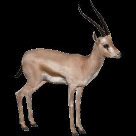 Gazelle PNG - 27752