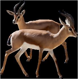 Gazelle PNG - 27749
