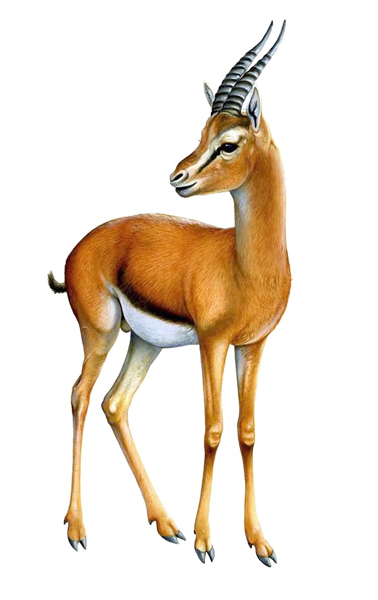 Gazelle PNG - 27748