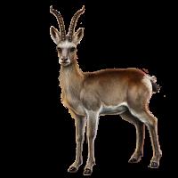 Gazelle PNG - 27747