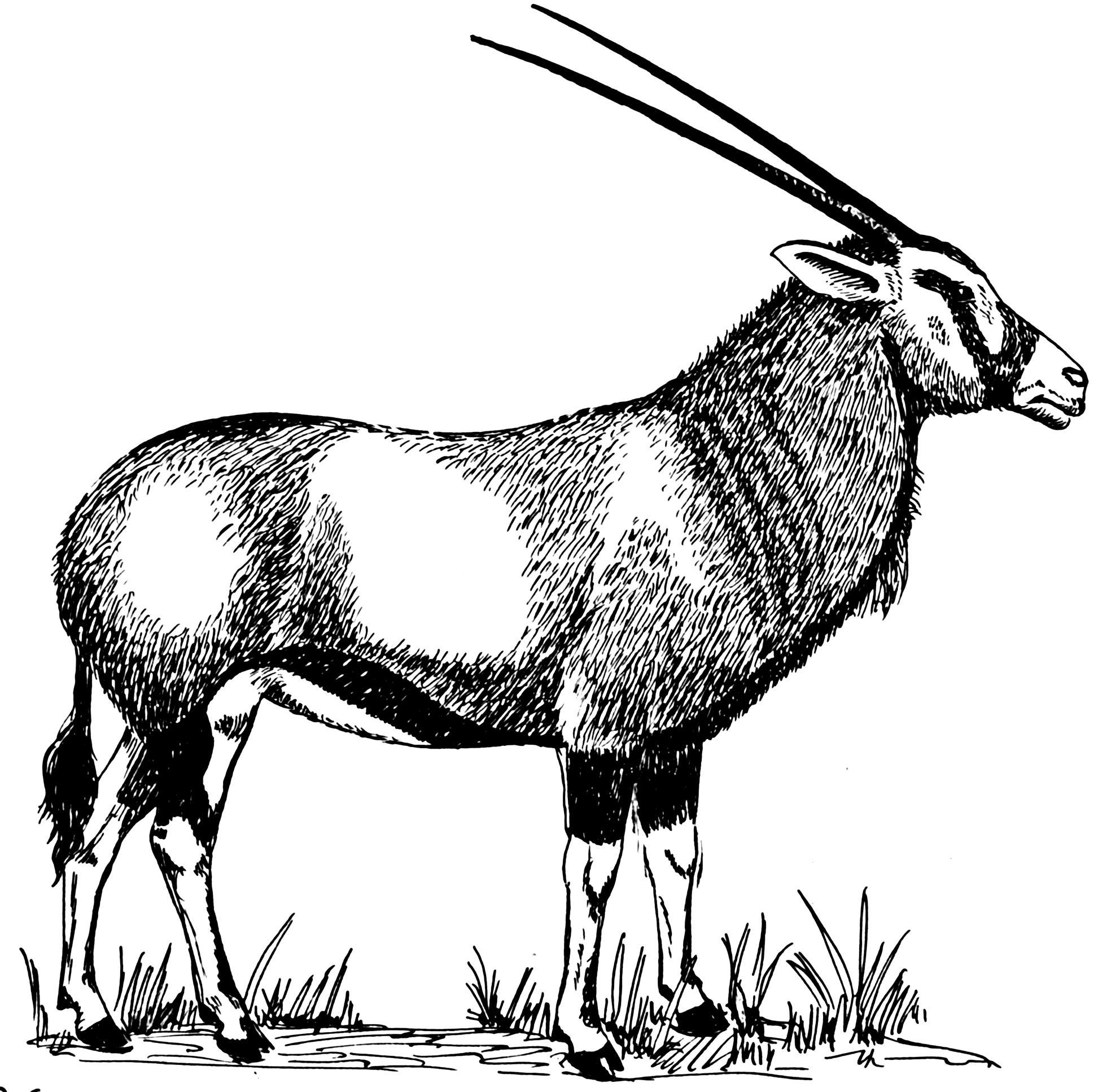 File:Gemsbok (PSF).png - Gemsbok PNG