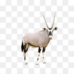 Horned antelope, Antelope, Animal, Horn PNG and PSD - Gemsbok PNG