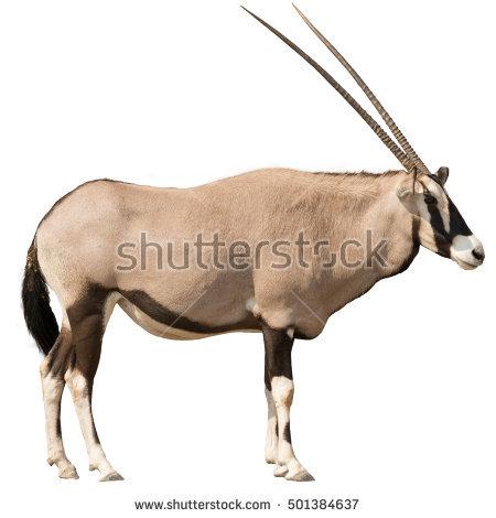 Oryx Gazella (Gemsbok) Looking Straight Shot From Side Isolated On White - Gemsbok PNG