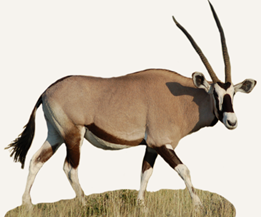 The Gemsbok, also often referred to as the Oryx, is a larger species of  antelope. This species of antelope can be found throughout southern Africa  and is PlusPng.com  - Gemsbok PNG