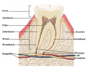 Ansicht eines Zahnaufbau - Gesunder Zahn PNG