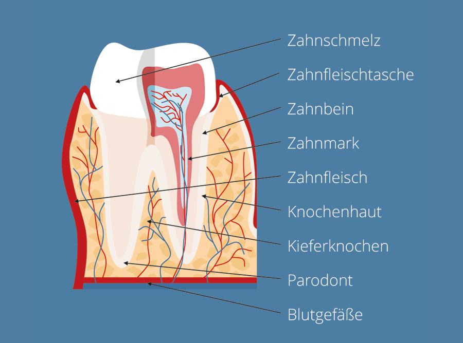 paro-gesunder-zahn.png - Gesunder Zahn PNG