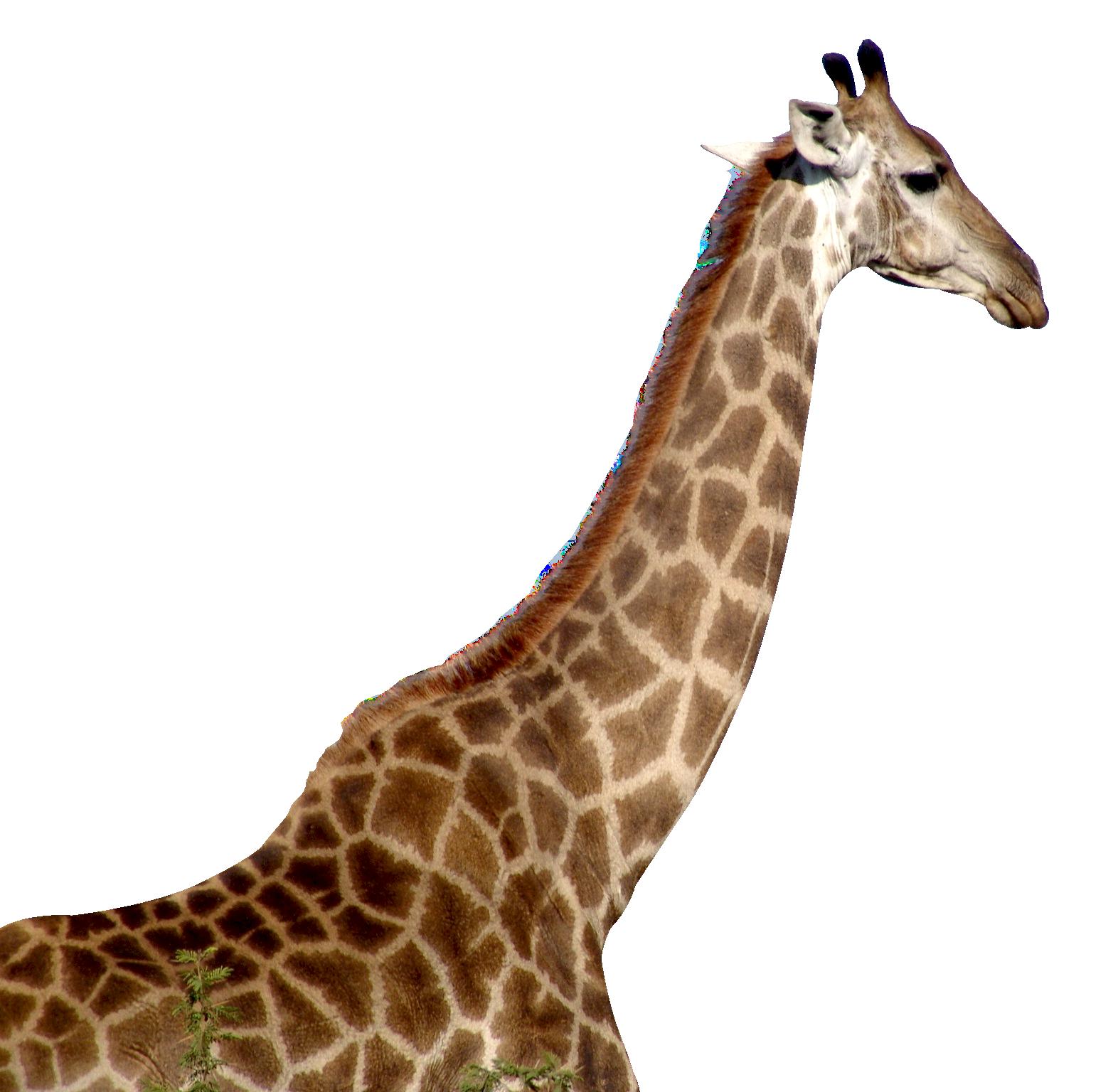 Giraffe HD PNG-PlusPNG.com-15