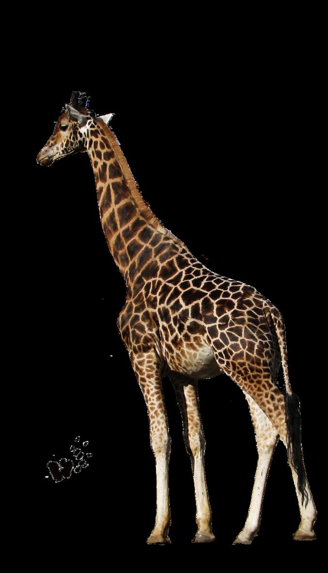 Giraffe HD PNG - 119710