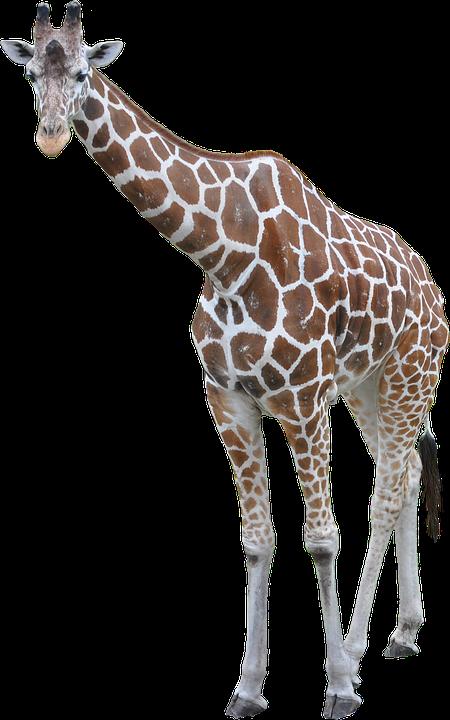 Giraffe HD PNG - 119708