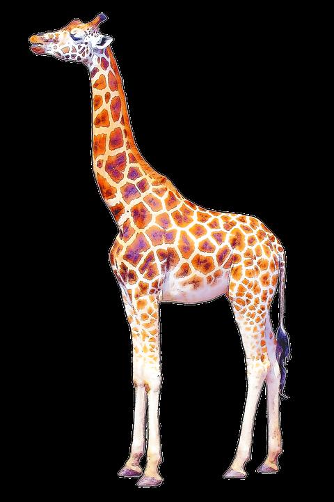 Giraffe HD PNG - 119715