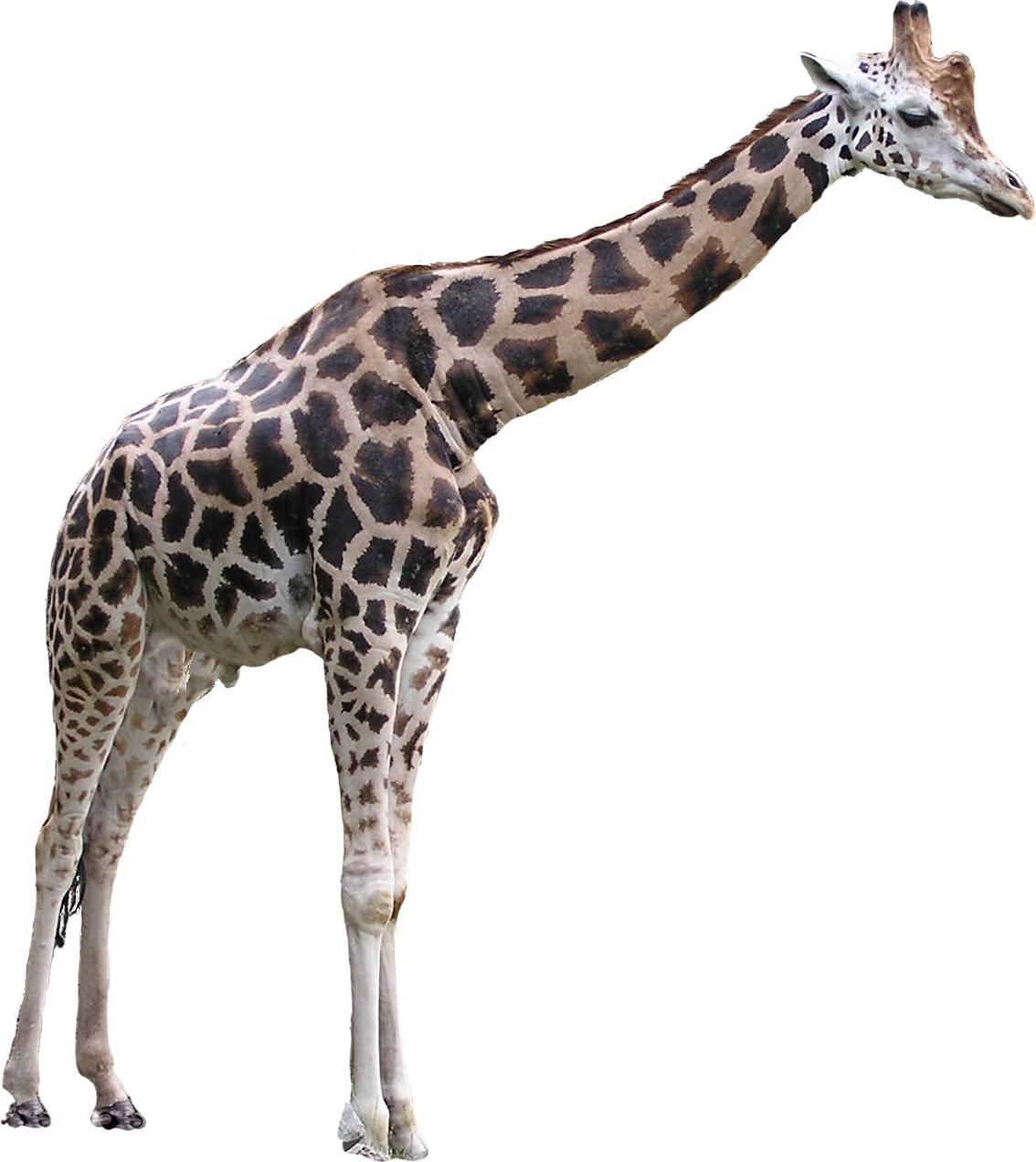Giraffe HD PNG - 119709