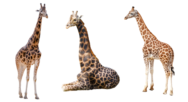 Giraffe Trio 2 PNG by chasean