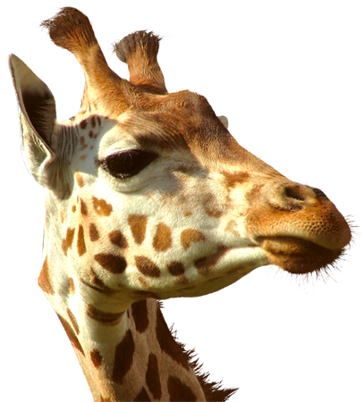 Giraffe Head PNG HD - 129412