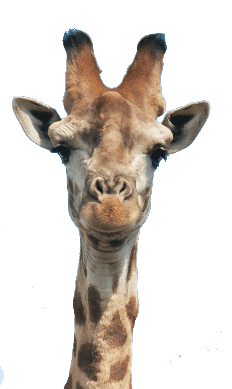 Giraffe Head PNG HD - 129403