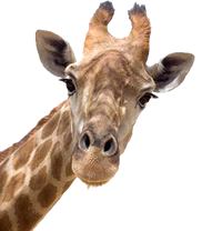 Giraffe Head PNG HD - 129405