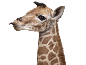 Giraffe Head PNG HD - 129415