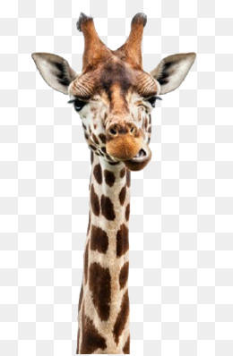 Giraffe Head PNG HD - 129408