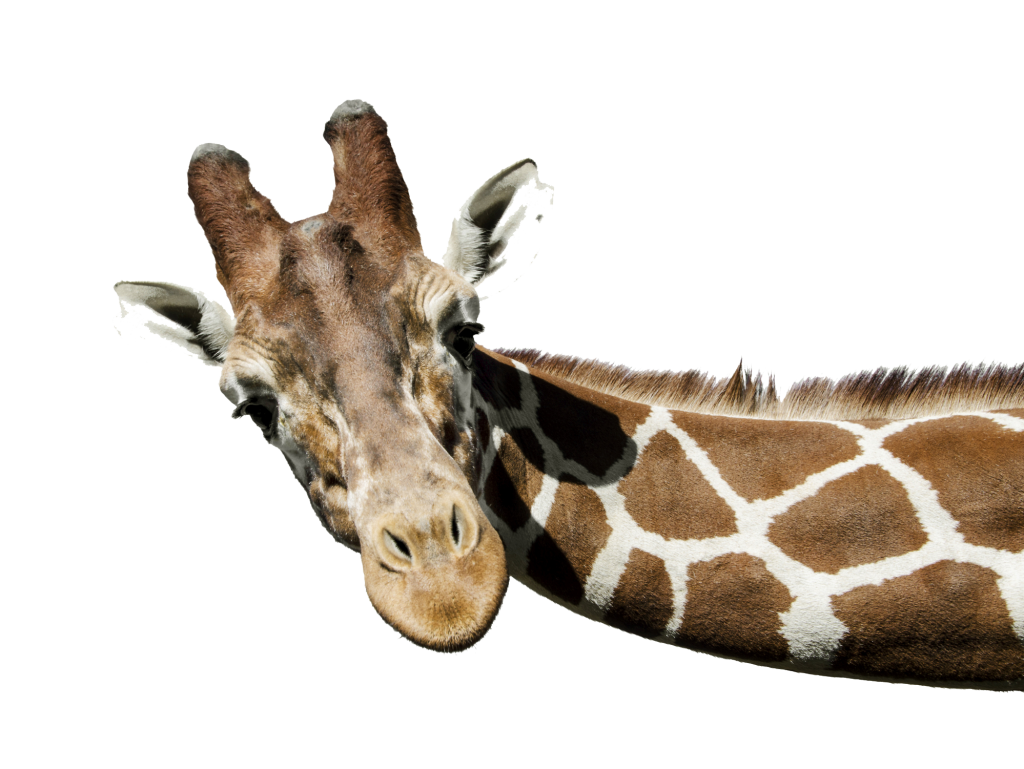 Giraffe Head PNG HD - 129406