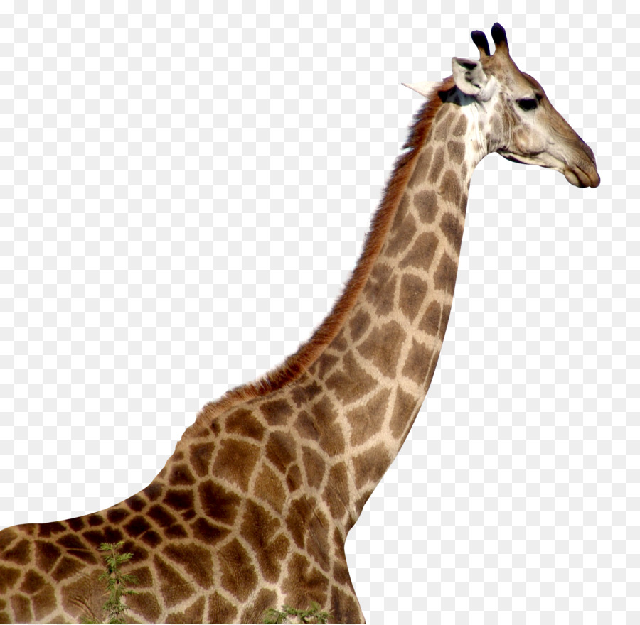 Giraffe Head PNG HD - 129413