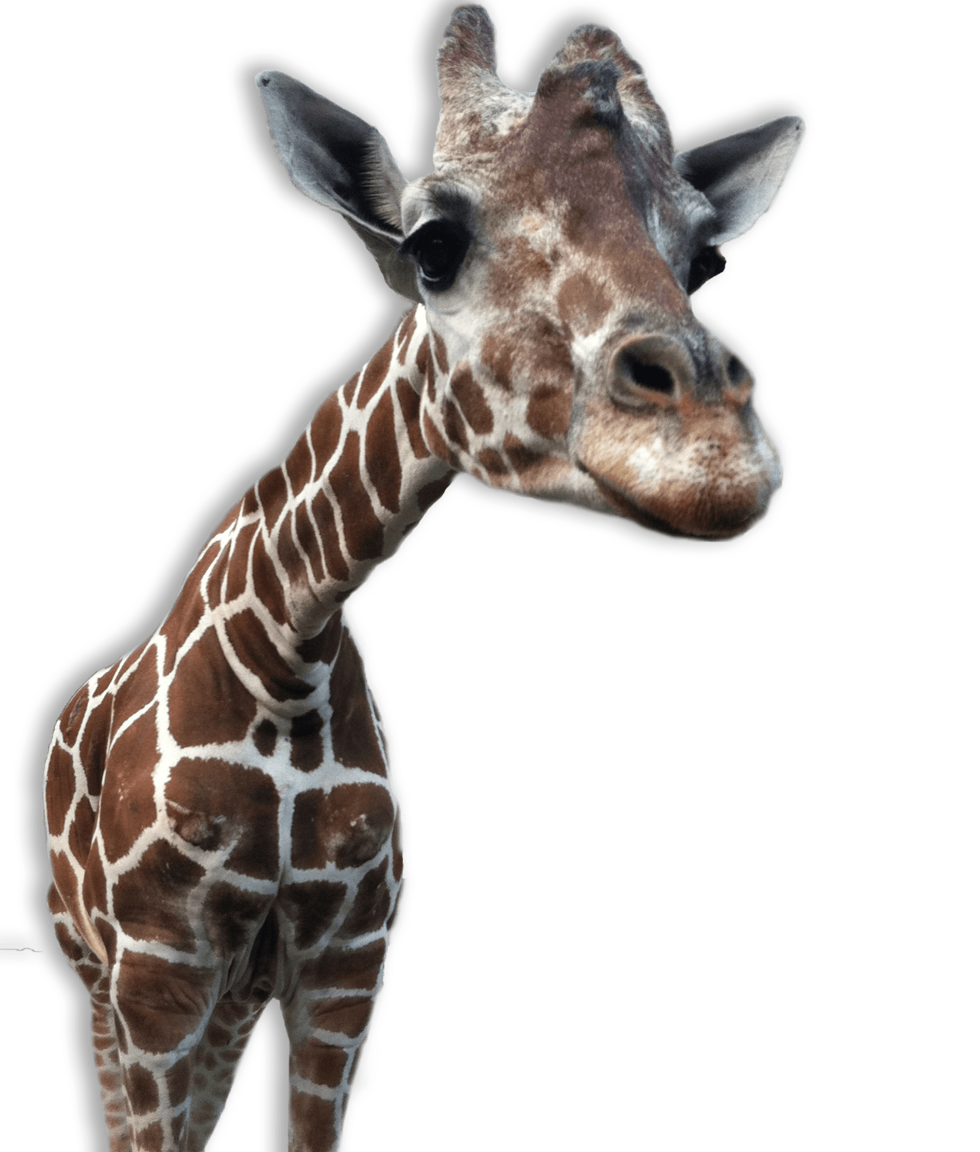 Giraffe Head PNG HD - 129410