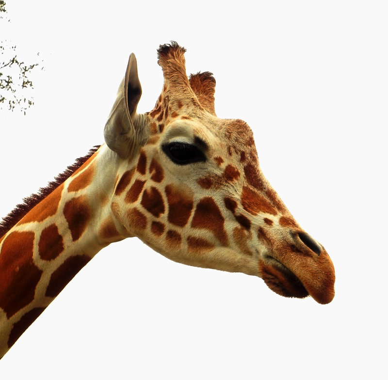Giraffe Head PNG HD - 129409