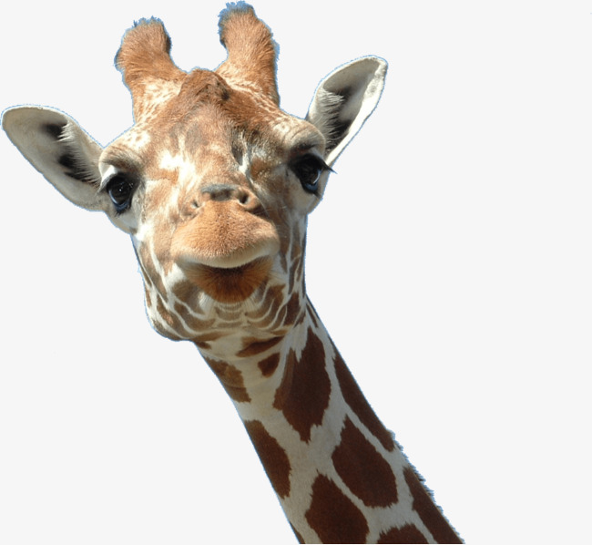 Giraffe head, Giraffe, Animal