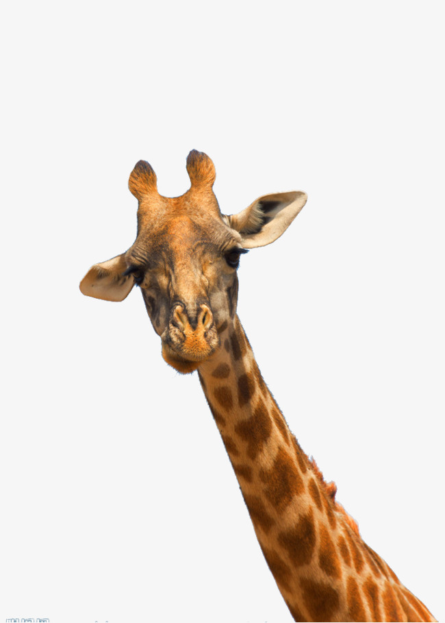 Giraffe Head PNG HD - 129416