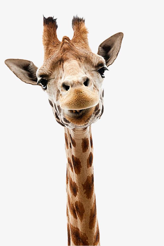 Giraffe Head PNG HD