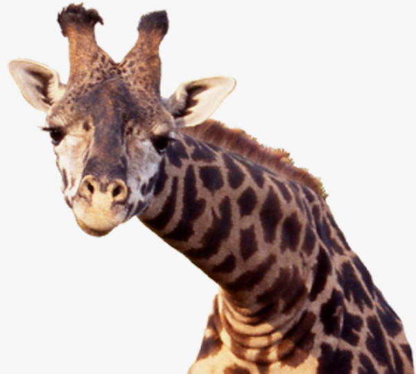 Giraffe Head PNG HD - 129404
