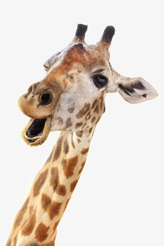 Giraffe Head PNG HD - 129407