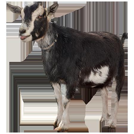 Goat PNG - 15764