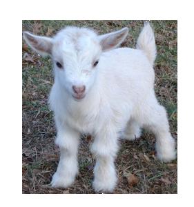 Goat PNG - 15766
