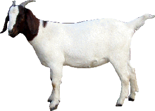 Goat PNG - 15776