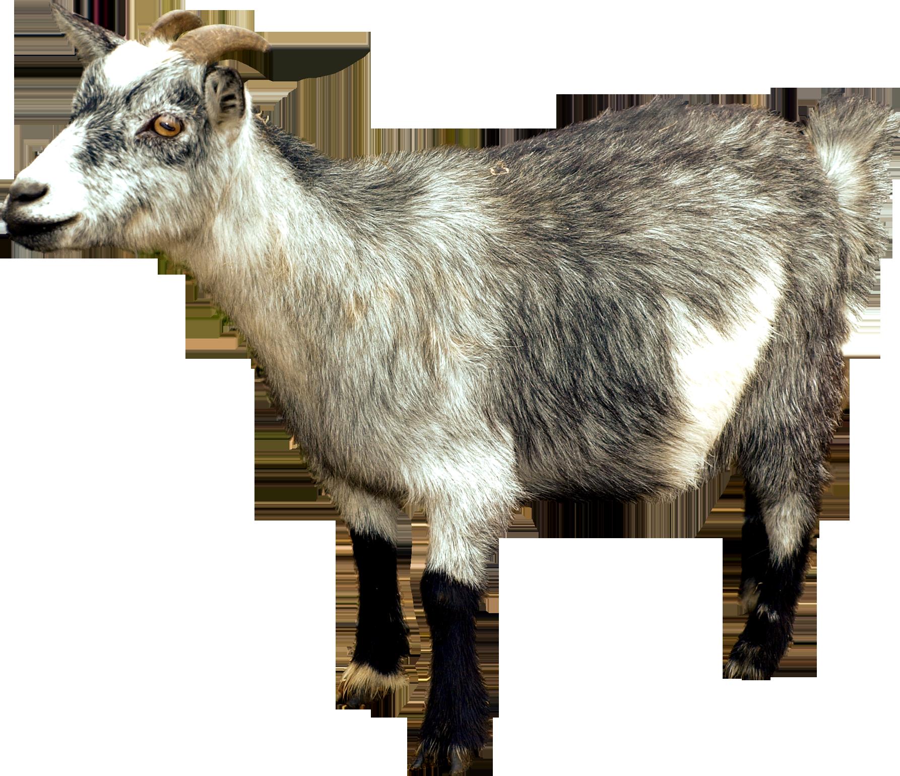 Goat PNG - 15760