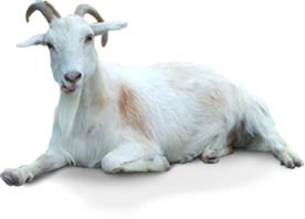 Goat PNG - 15761