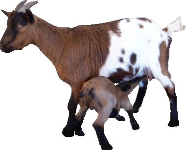 Goat PNG - 15762