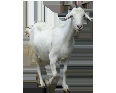 Goat PNG - 15758