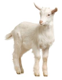 Goat PNG - 15773