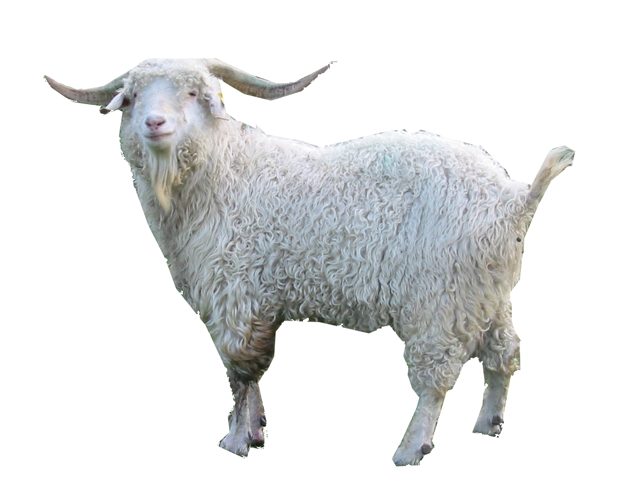 Goat PNG - 15772
