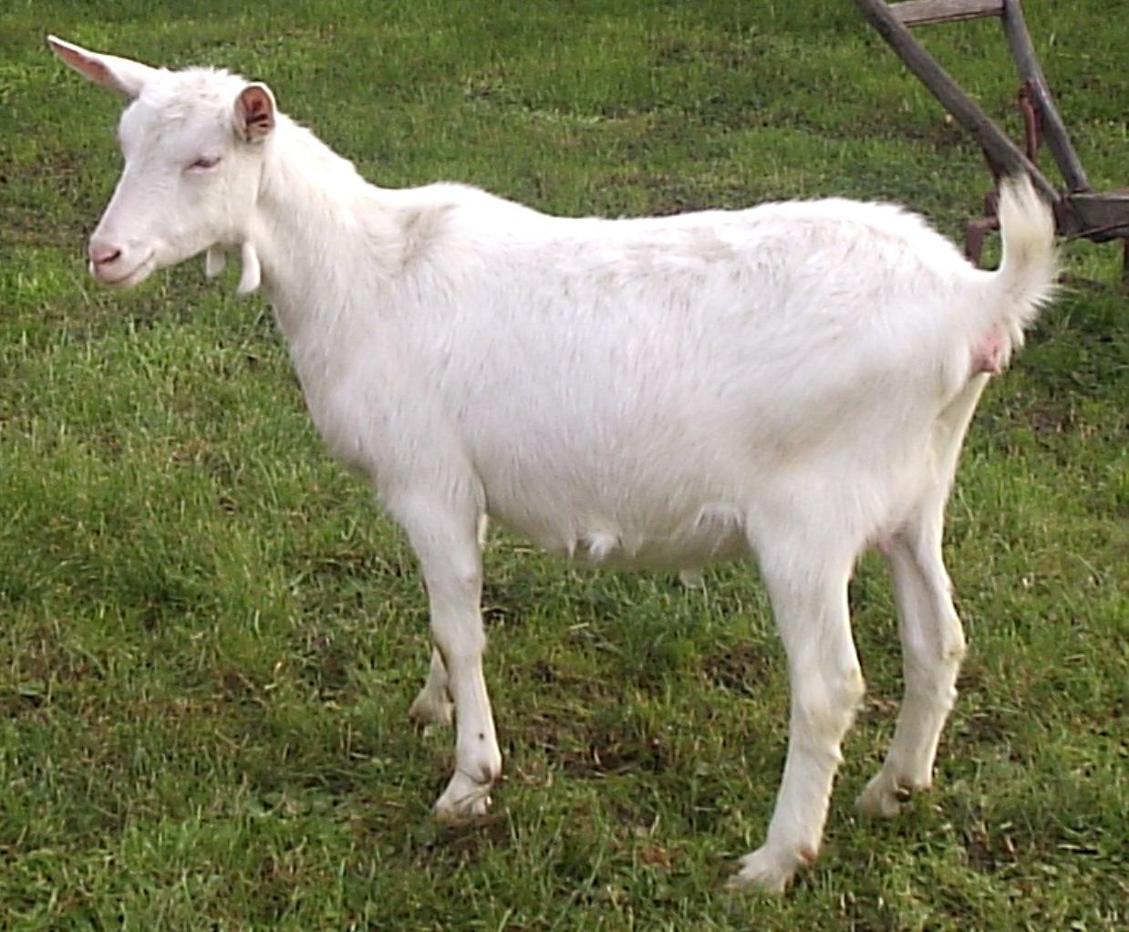Goat PNG - 15768