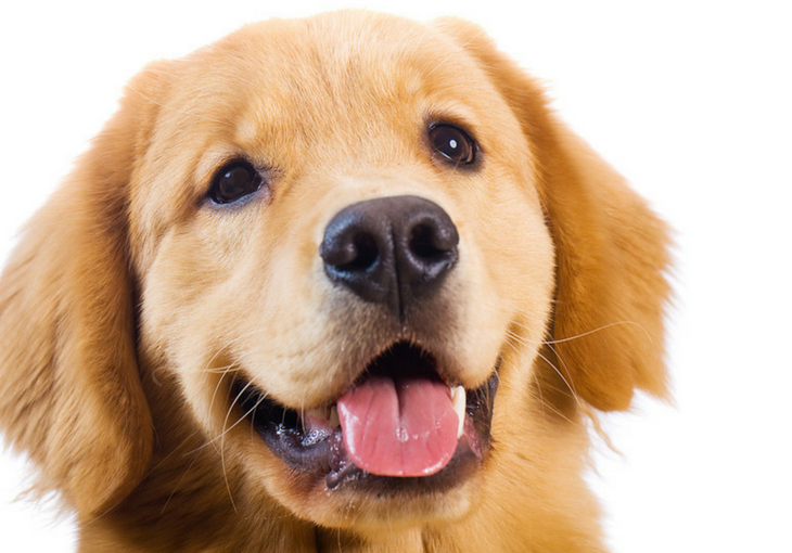 Golden Retriever PNG - 75697