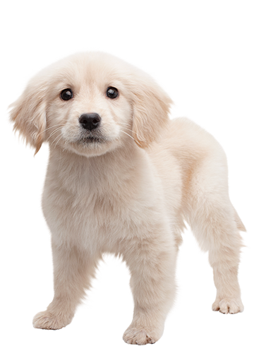 A demo of nintendogs cats can be downloaded from the Nintendo eShopu0027s title  information page for the Golden Retriever u0026 New Friends version of the game. - Golden Retriever PNG
