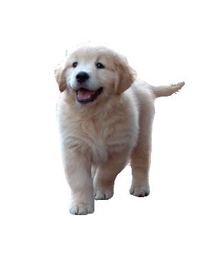 bluebreeze-kennels-golden-retriever-showdogs-puppies - Golden Retriever PNG