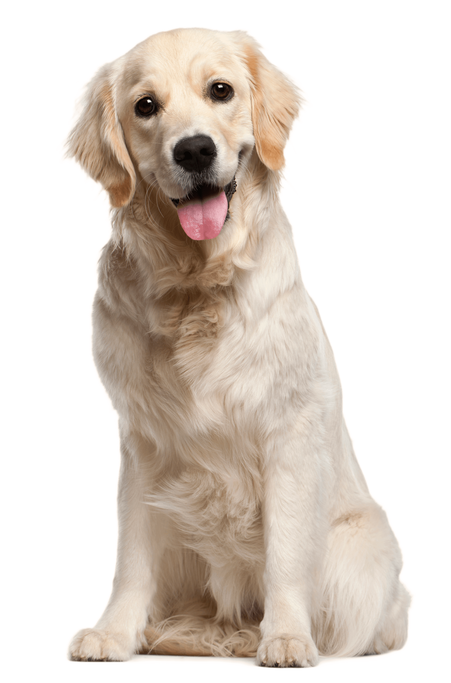 Dog PNG File - Golden Retriever PNG