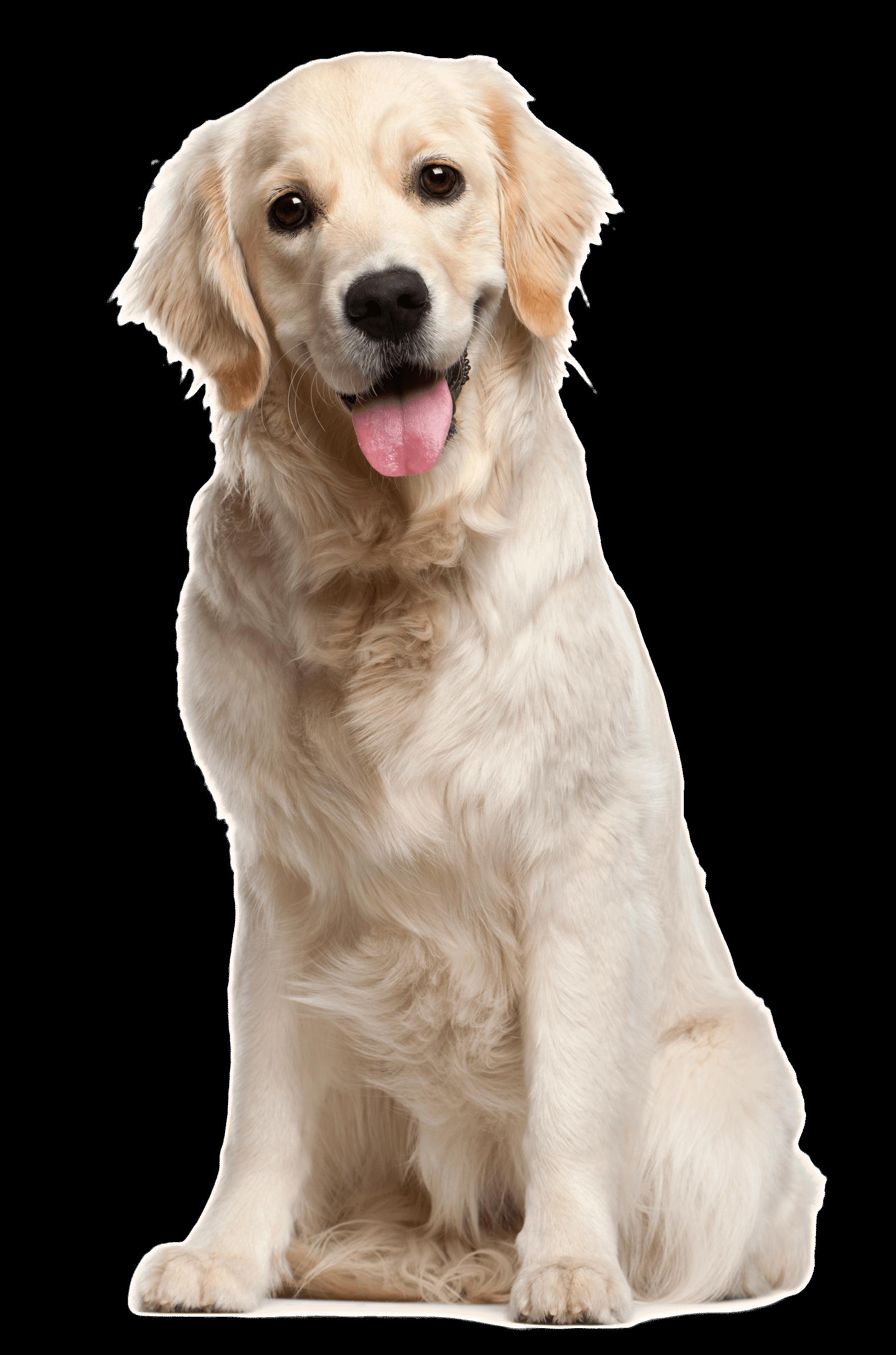 Dog PNG File - Golden Retriever PNG